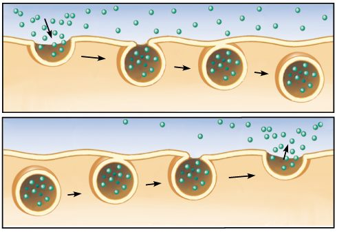endocytosis example - photo #14